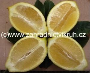 Citroník LIMON v květináči P20