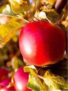 Jabloň BOHEMIA