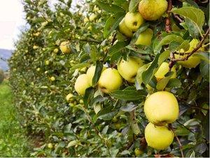 Sloupovitá jabloň BOLERO