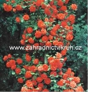 Růže pnoucí SUNRISE - oranžová