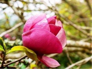 Magnolie BLACK TULIP - purpurová