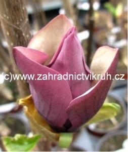 Magnolie BLACK BEAUTY - tmavě fialová se světlým vnitřkem