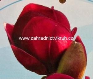 Magnolie GENIE - tmavě vínová, 80 - 100 cm