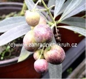 Olivovník -  výška cca 30 cm