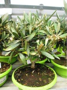 Olivovník - bonsai v květináči P16