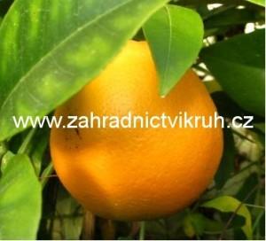 Pomeranč v květináči P18