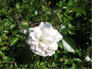 Růže SEA FOAM - polyantka, bílá C 1,4 l