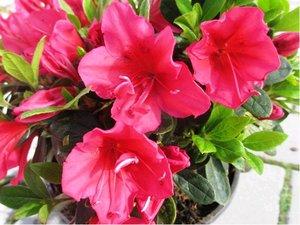 Azalka japonská ARABESK - sytě růžovočervená