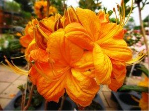 Azalka velkokvětá Klondyke - oranžovožlutá