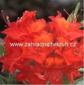 Azalka velkokvětá Tunis - červenooranžová