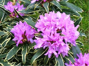 Rhododendron GOLDFLIMMER - lila s panašovaným listem, C 2 l