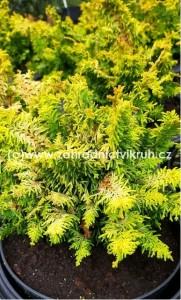 Chamaecyparis obt. Fernspray Gold C2l