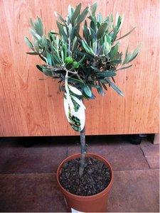Olivovník - stromek, výška 50cm