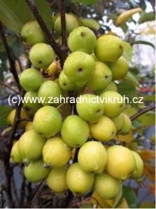 Okrasná jabloň GOLDEN HORNET v kontejneru