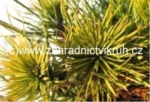 Borovice lesní MOSERI