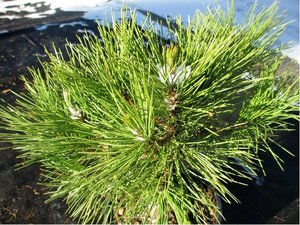 Borovice černá - Pinus nigra 4L