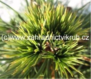 Borovice lesní GLOBOSA VIRIDIS