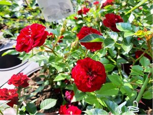 Růže miniaturní - červená