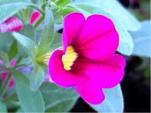 Million Bells Trailing Fuchsia - tmavě růžový