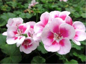 Muškát zonale Flower Fairy White Splash - světle růžový s tmavým středem