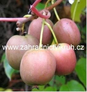 Kiwi arguta KENS RED - samice, extra 2L