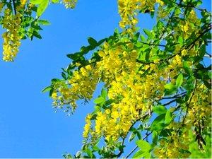 Zlatý déšť  PRAVÝ- !!květ až 60cm!!  Laburnum  VOSSII