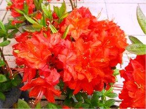 Azalka velkokvětá FEUERWERK - červenooranžová, C 2 l