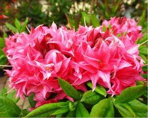 Azalka velkokvětá HOMEBUSH - růžová