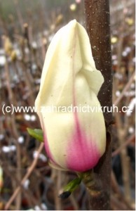 Magnolie SUNRISE - žlutorůžová, 80 - 90 cm
