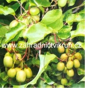 Kiwi arguta KOZOLUPY - samice, extra 2l