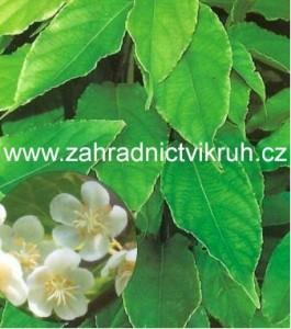 Kiwi arguta WEIKI - samec, extra 2l