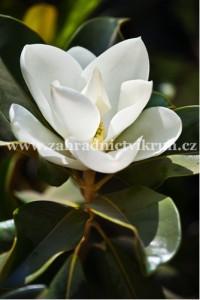 Magnolie Galisonniere - bílá
