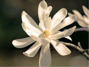 Magnolie ROYAL STAR - bílá