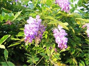 Vistárie PROLIFIC - Wisteria sinensis Prolific