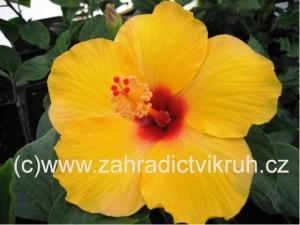 Ibišek pokojový Clear Yellow - žlutý s červeným okem
