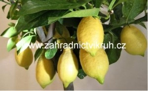 Citron�k LEMONE v kv�tin��i P8,5