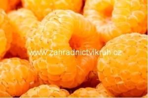 Maliník žlutý ALPENGOLD - extra 2L
