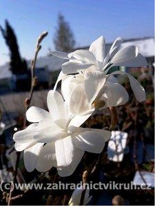 Magnolie JADE LAMP - bílá, velikost 40 - 60 cm