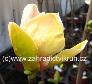 Magnolie SUNSATION - žlutorůžová, 60 - 70 cm