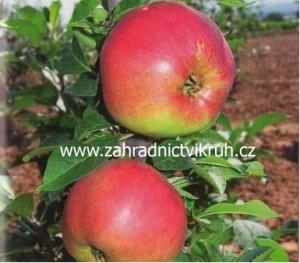 Sloupovitá jabloň PIDI v kontejneru