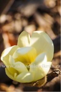 Magnolie HONEY TULIP - žlutá, 100 cm