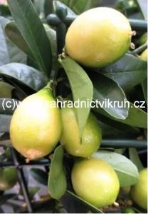 Citroník LIMON - LARA v květináči P12