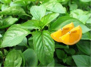 Citronová máta