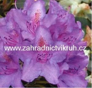 Rhododendron Catawbiense Grandiflorum - lila