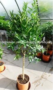 Mandarinka v květináči P24