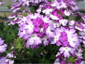 Verbena velkokvětá - fialovobílá
