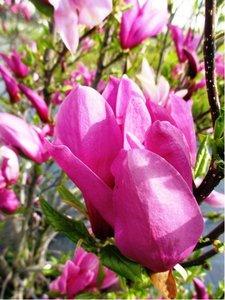 """Magnolie """"Nigra"""" - Magnolia liliiflora """"Nigra"""" - růžovobílá"""