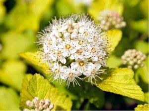 """Tavola kalinolistá """"Dart´s Gold"""" - Physocarpus opulifolius """"Dart´s Gold"""""""