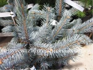 "Smrk pichlavý - Picea pungens ""Hoopsii"""