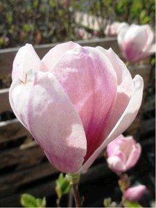 Magnolie soulangeana - růžová, kmen 90cm